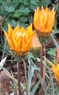 Flame Flowers