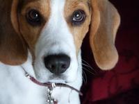 Zeca Beagle