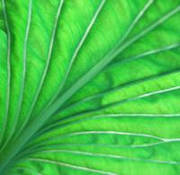 Translucent Leaf