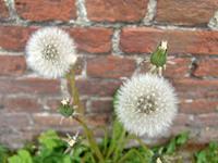 Horseflower