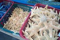 Starfish Big and Little for Sa