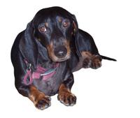 Dog cutout 1 - daxi