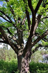 lonely ancient oak 3