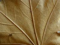leaf_0 4