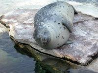 Seals at Lincoln Zoo 1