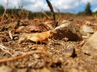 Macro Grasshopper or Cricket 5