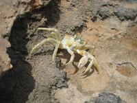 Cape Verde Crab 1