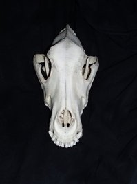 dogs skull
