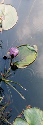 san antonio lilies