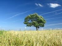 corn_tree_ 3