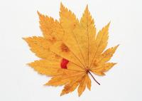 SM149- Leaf