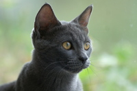 Russian blue cat 1