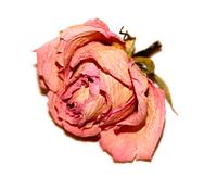 Dry Rose 1