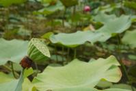 Lotus Flower Before It Bloom