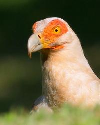 Palmnut Vulture Close-up 2