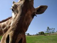 Giraffe Up Close 5