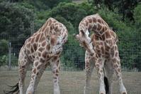 Giraffes Play Fight