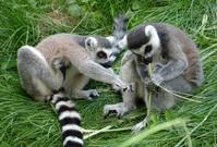 Ring Tailed Lemurs 2