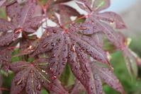 Water drops on Maple Leaf