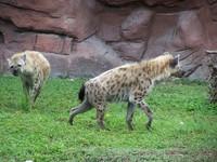 hyenas 58