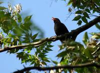 Black bird singing