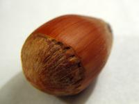 Hazelnut 1