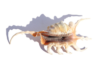 Scorpio Shell 496