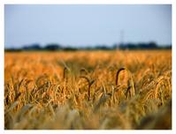 wheaty field