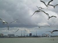 Sea birds Texel Holland