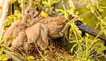 Turtledoves 10