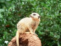 Meerkat Crouching