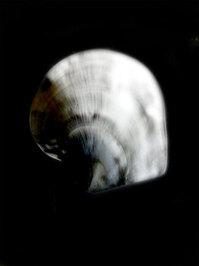 sea shell III