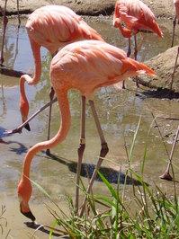 A Flamingo