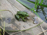 Frog with the dragon-fly in mouth