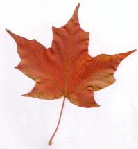Scanner Art: Maple Leaves 4