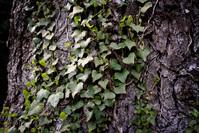 Tree & Ivy