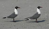 Atlantic City Seagulls 7