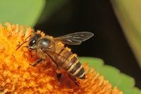 Wild Honey Bee(s) 6