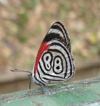 Butterfly - Iguacu Falls, Brazil