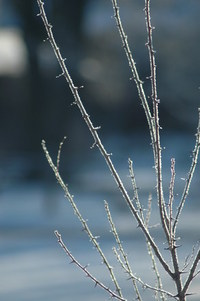 frosted hawthorne