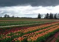 Tulip Farm 5