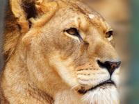Sad lion girl