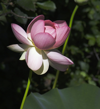 Lotus Blossoms 6