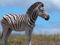 Zebra 12