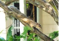 Squirrel Reclining