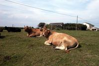 as vacas de Maruxa