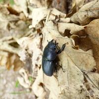Dorcus paralellepipedus female 1