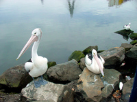 Pelicans in Sydney