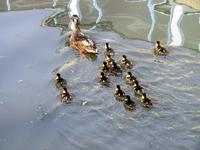 Little ducks 4