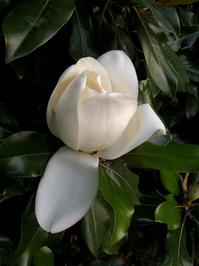 Mississippi Magnolia 1